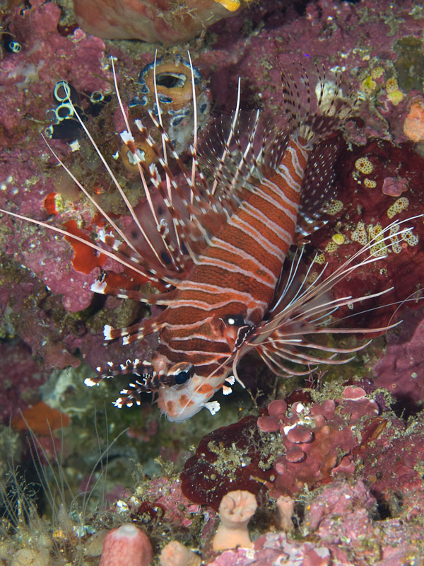 Photo at Labasong:  Broadbarred firefish