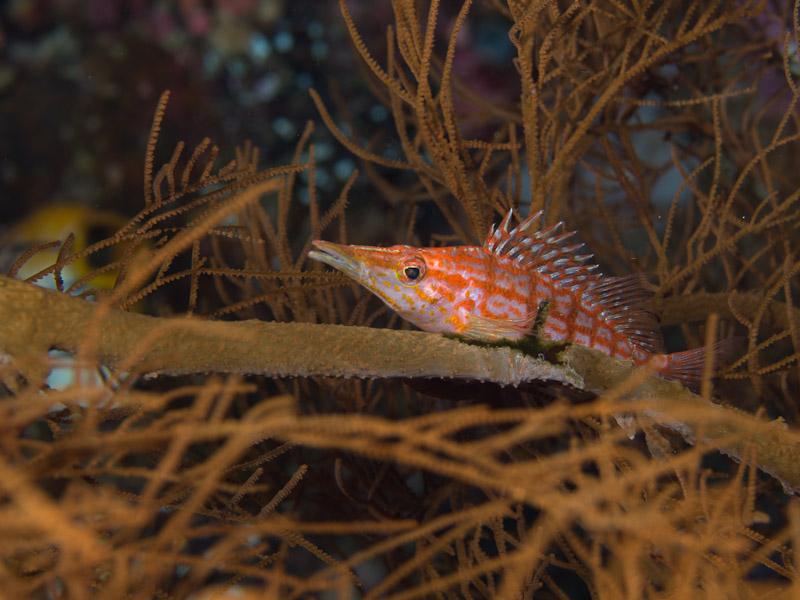 Photo at Labasong:  Longnose hawkfish