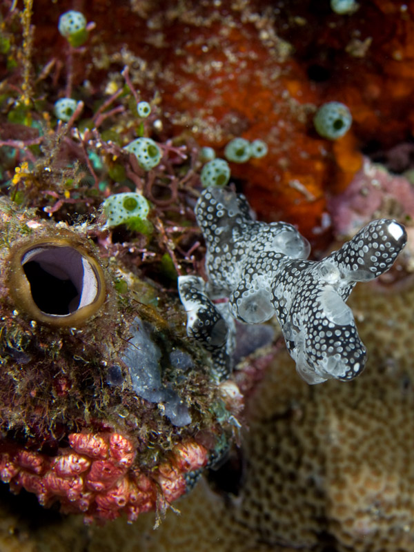Photo at Pangalisan:  Sea Squirt