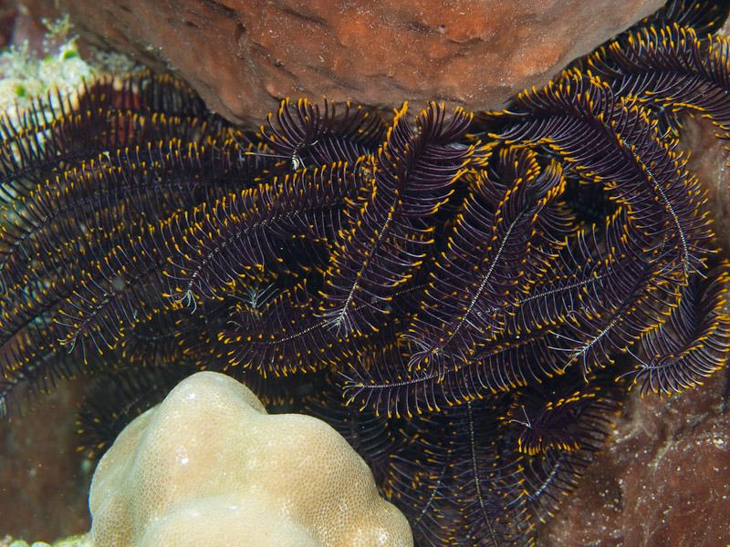 Photo at Pangalisan:  Crinoid Feather star