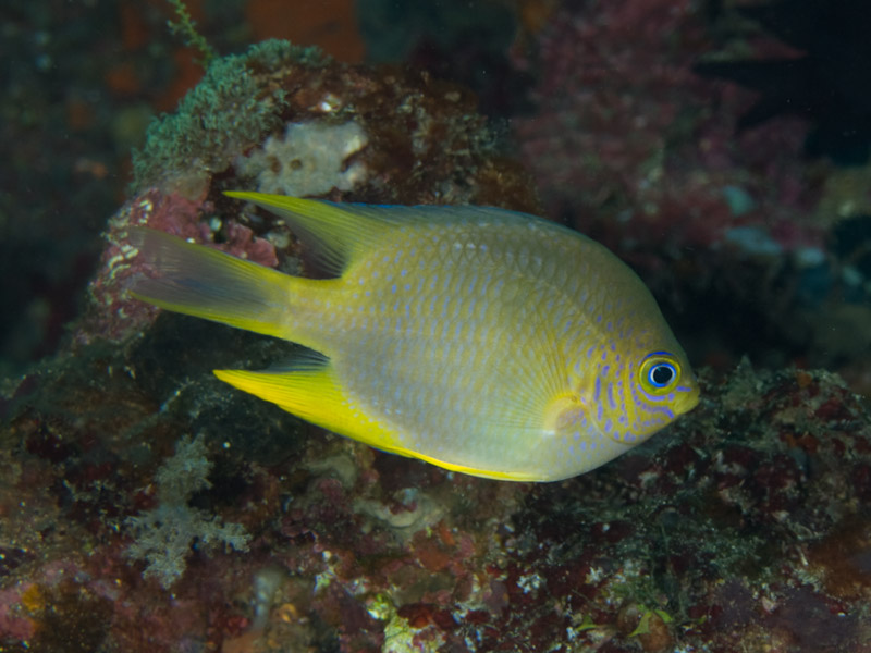 Photo at Tanjung Pisok:  Golden damselfish