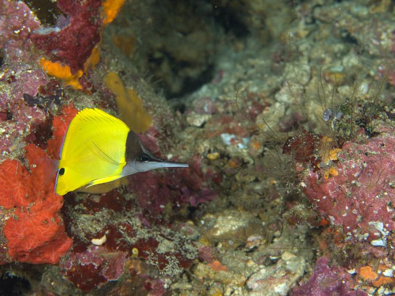 Photo at Tanjung Pisok:  Longnose butterflyfish