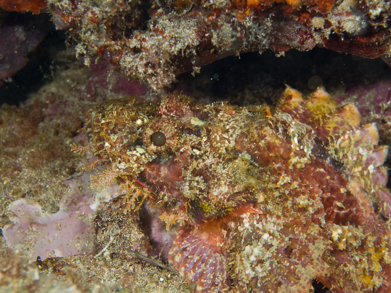 Photo at Tanjung Pisok:  Tasselled scorpionfish