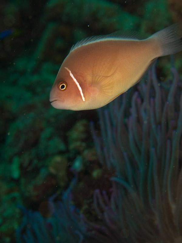 Photo at Tanjung Pisok:  Pink anemonefish
