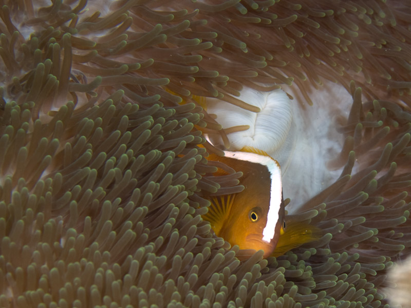 Photo at Tanjung Pisok:  Yellow anemonefish