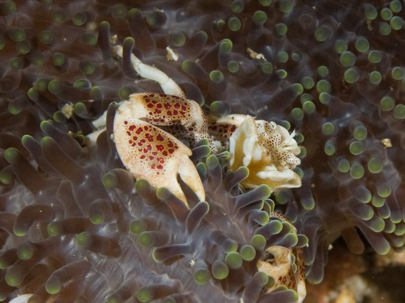 Photo at Tanjung Pisok:  Porcelain crab