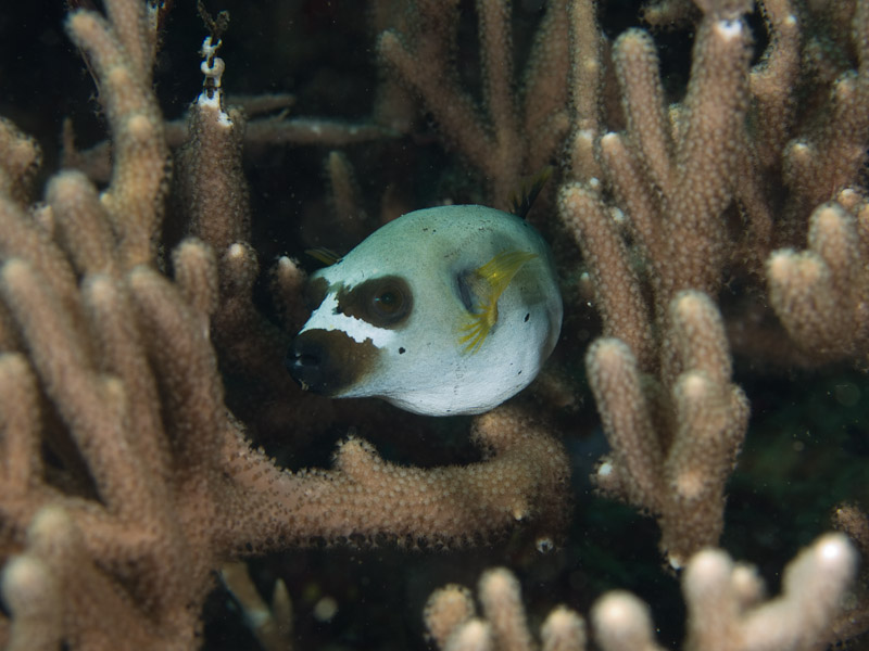 Photo at Tanjung Pisok:  Blackspotted puffer
