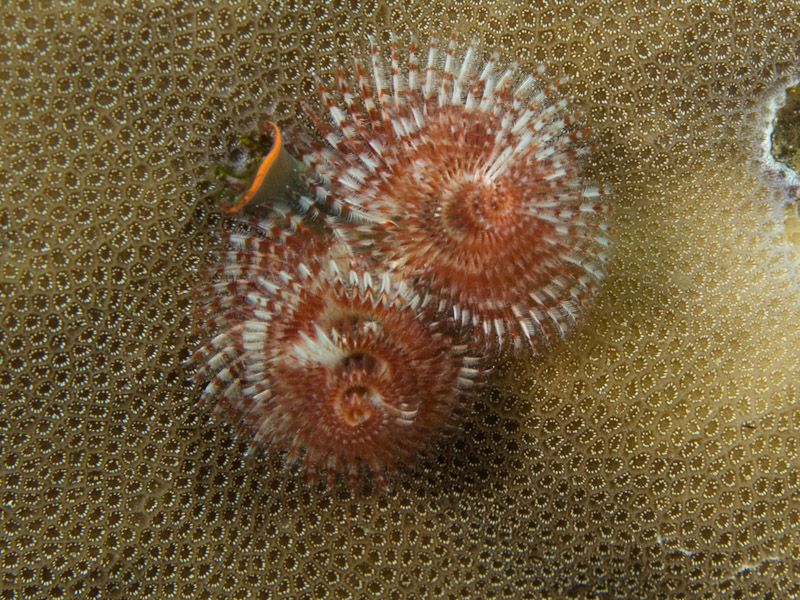 Photo at Tanjung Pisok:  Christmas Tree worm