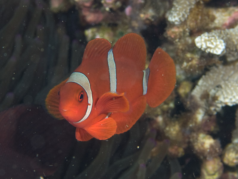 Photo at Tanjung Pisok:  Spinecheek anemonefish