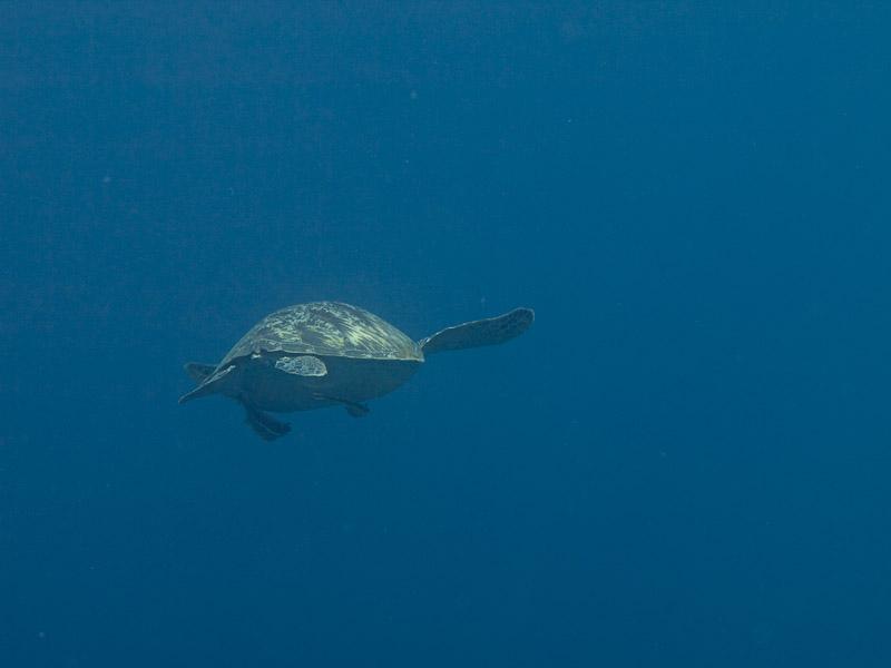 Photo at Muka Kampung:  Green Turtle