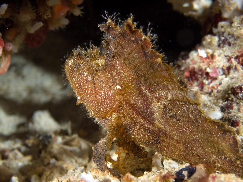 Photo at Muka Kampung:  Leaf scorpionfish