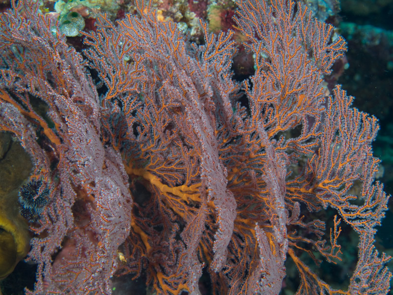 Photo at Muka Kampung:  Sea fan