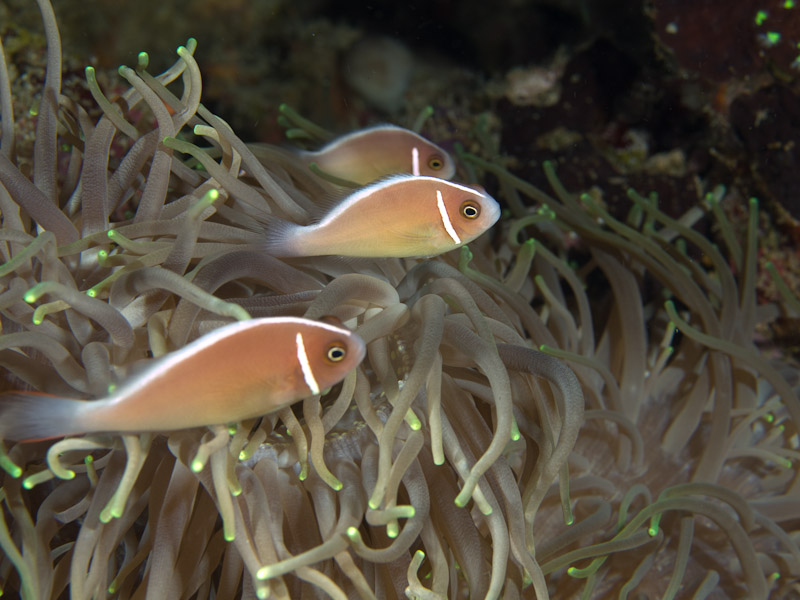 Photo at Muka Kampung:  Pink anemonefish