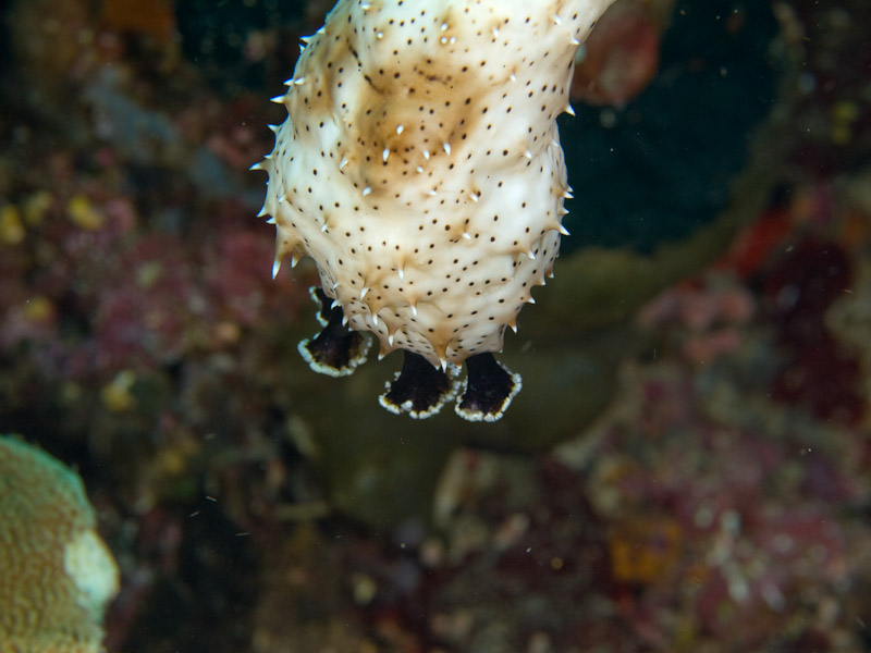 Photo at Muka Kampung:  Graeff's Sea Cucumber