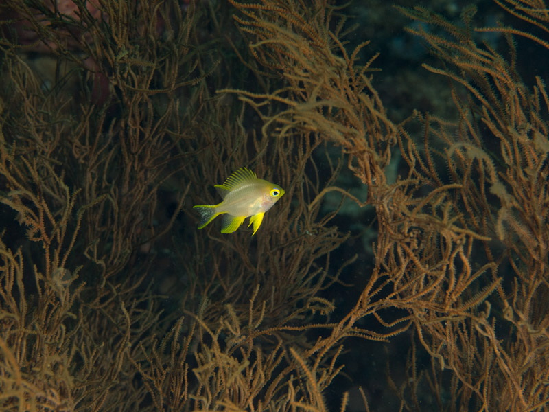 Photo at Muka Kampung:  Golden damselfish
