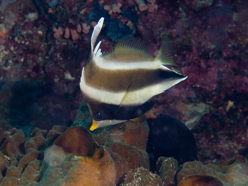Photo at Muka Kampung:  Threeband pennantfish