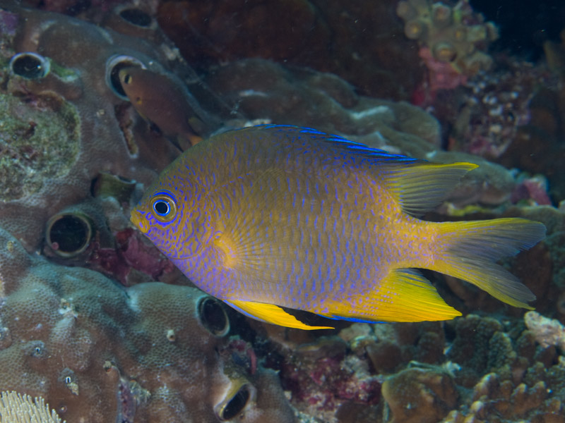 Photo at Muka Kampung:  Golden damselfish