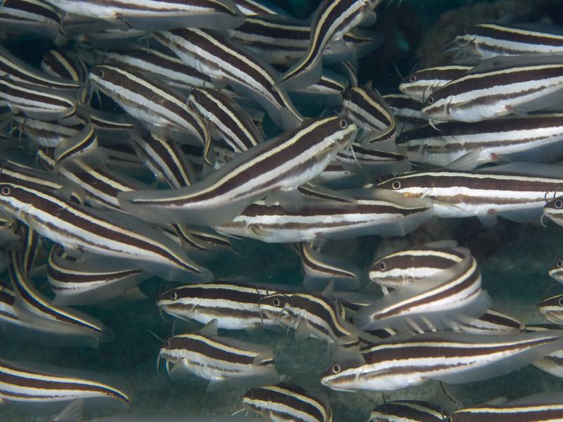 Photo at Tasik Ria House Reef:  Striped eel catfish