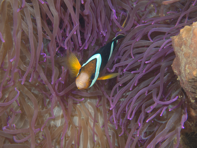 Photo at Tasik Ria House Reef:  Yellowtail clownfish