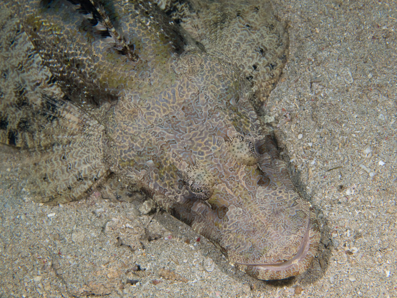 Photo at Tasik Ria House Reef:  Crocodile fish