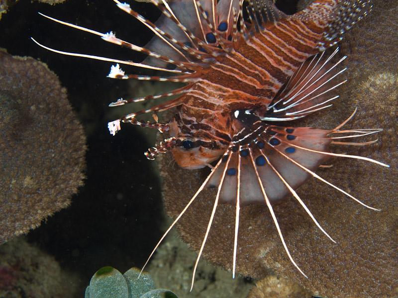 Photo at Tasik Ria House Reef:  Broadbarred firefish