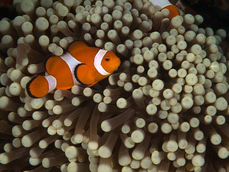 Photo at Tasik Ria House Reef:  Clown anemonefish