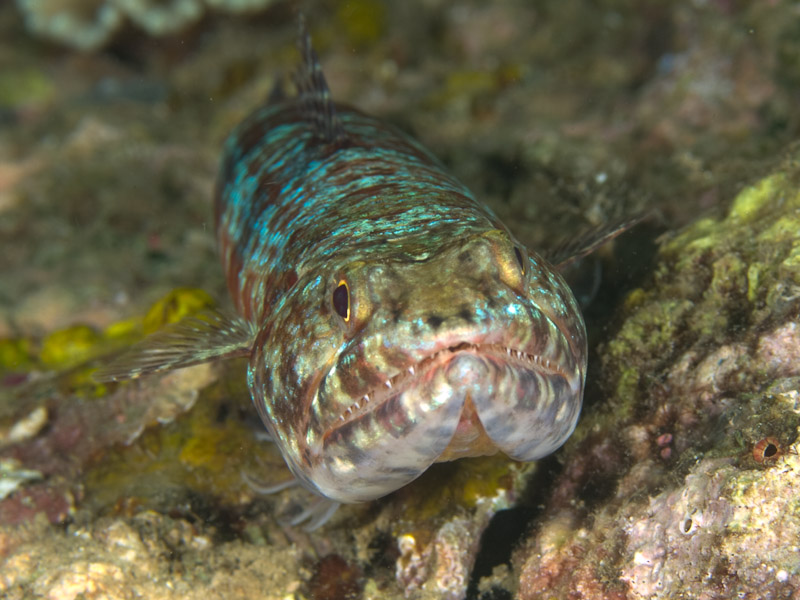 Photo at Tasik Ria House Reef:  Variegated lizardfish