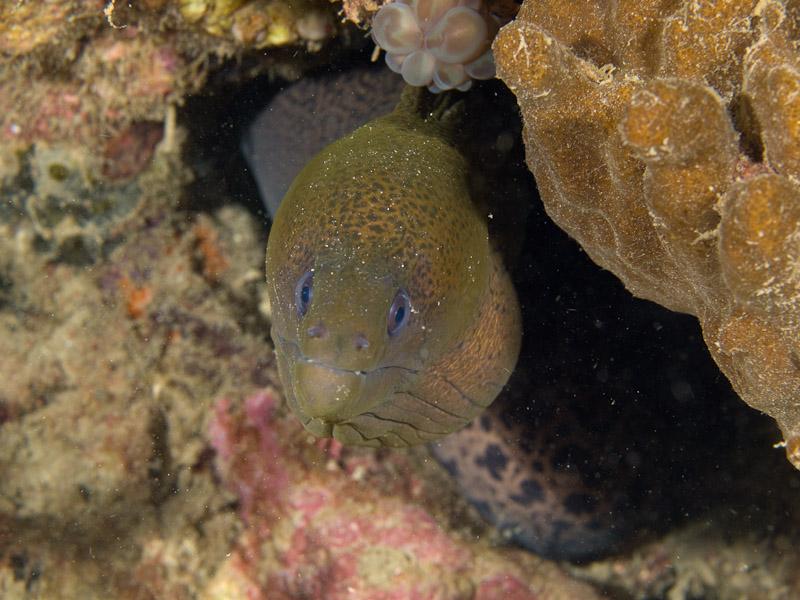 Photo at Tasik Ria House Reef:  Giant moray