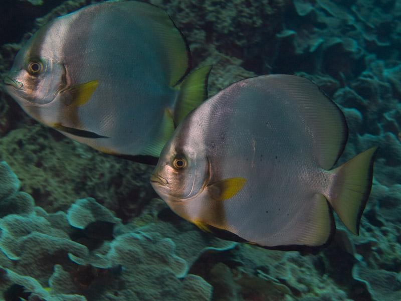 Photo at Fukui:  Orbicular Batfish