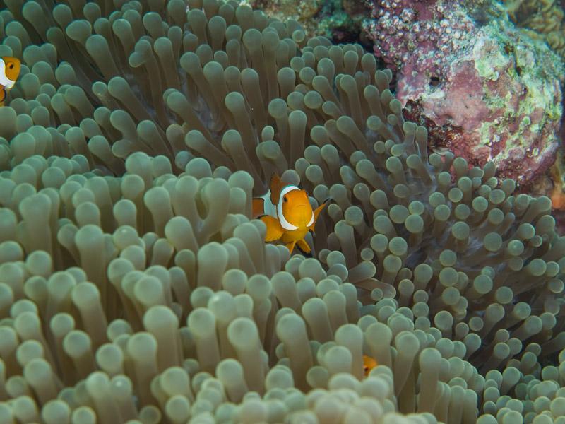 Photo at Fukui:  Clown anemonefish