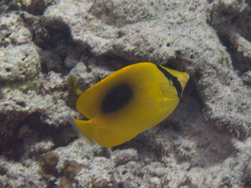 Photo at Fukui:  Mirror butterflyfish