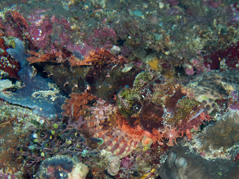 Photo at Lekuan I:  Tasselled scorpionfish
