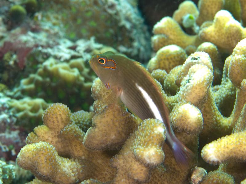 Photo at Lekuan I:  Arc-eye hawkfish