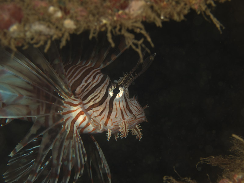 Photo at Tasik Ria House Reef:  Red lionfish