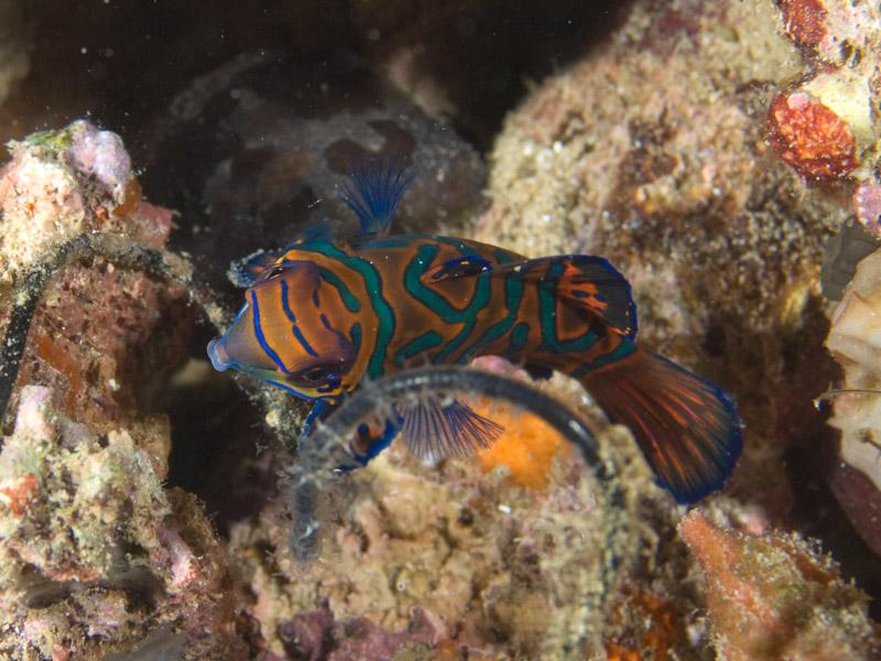 Photo at Tasik Ria House Reef:  Mandarinfish