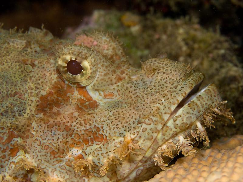 Photo at Tasik Ria House Reef:  Tasselled scorpionfish
