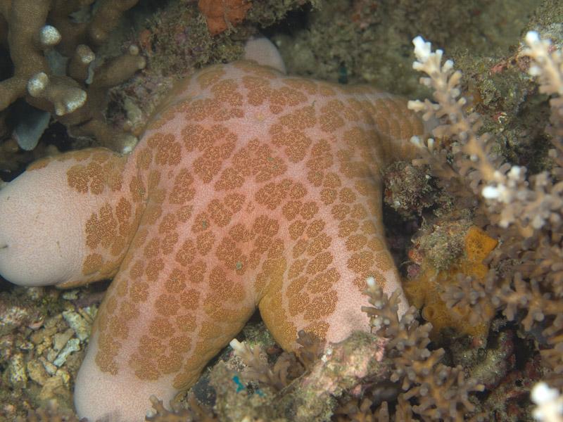 Photo at Tasik Ria House Reef:  Granulated Sea Star
