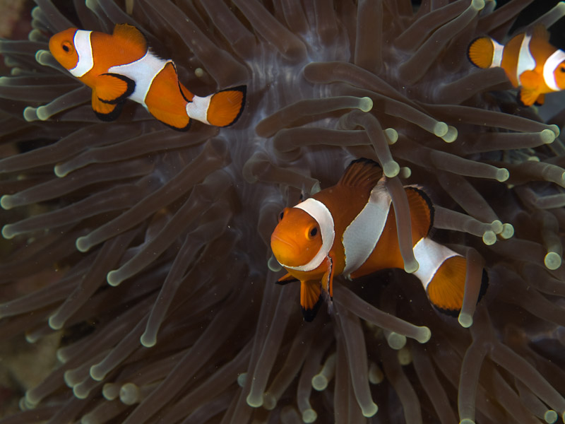 Photo at Tasik Ria House Reef:  Clown anemonefish