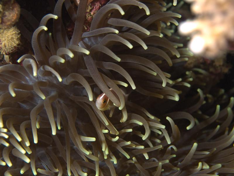 Photo at Tasik Ria House Reef:  Pink anemonefish