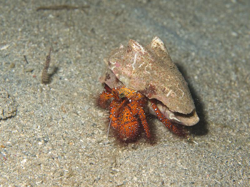 Photo at Tasik Ria House Reef:  Hermit crab