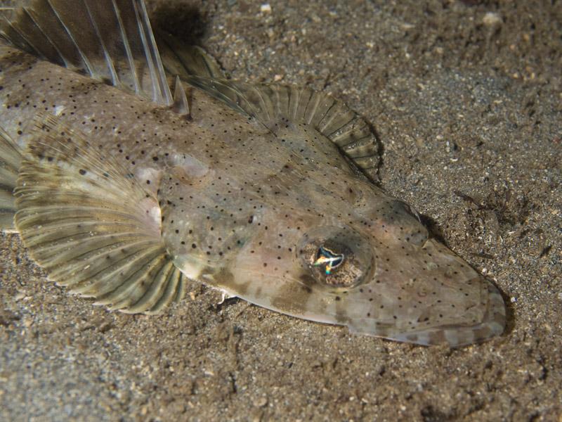 Photo at Tasik Ria House Reef:  Spotted flathead