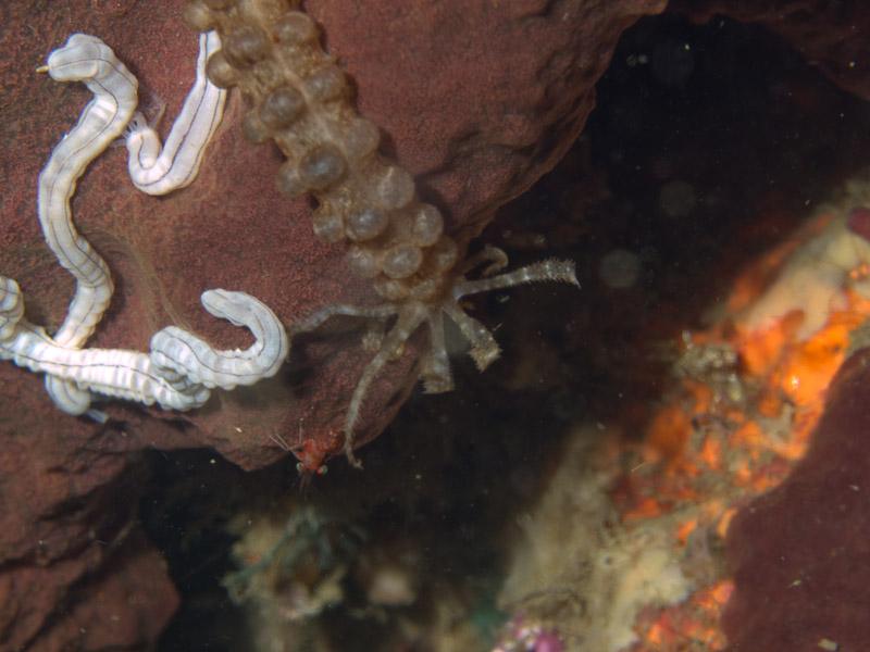 Photo at Tasik Ria House Reef:  Ribbon worm