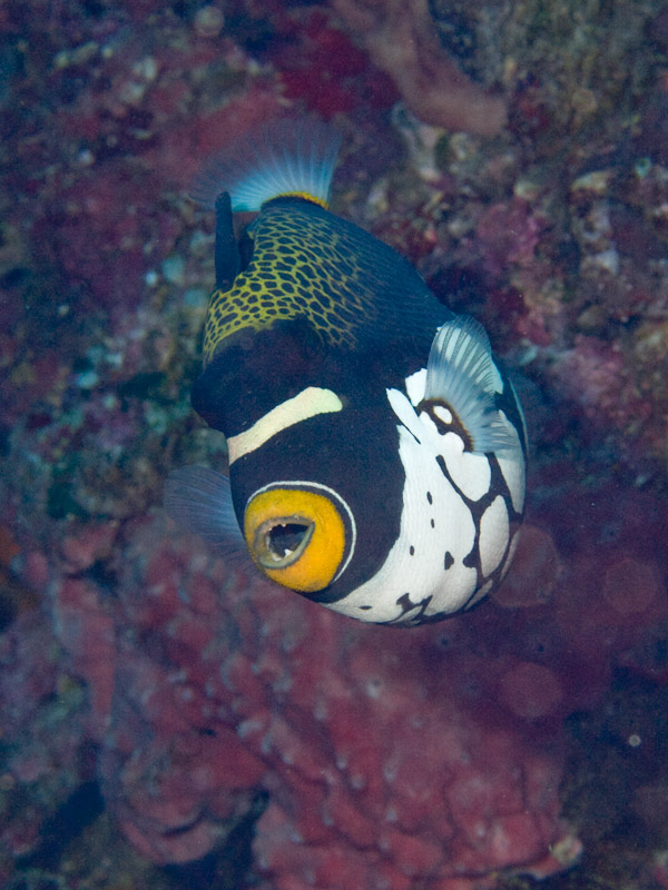 Photo at Mandolin:  Clown triggerfish