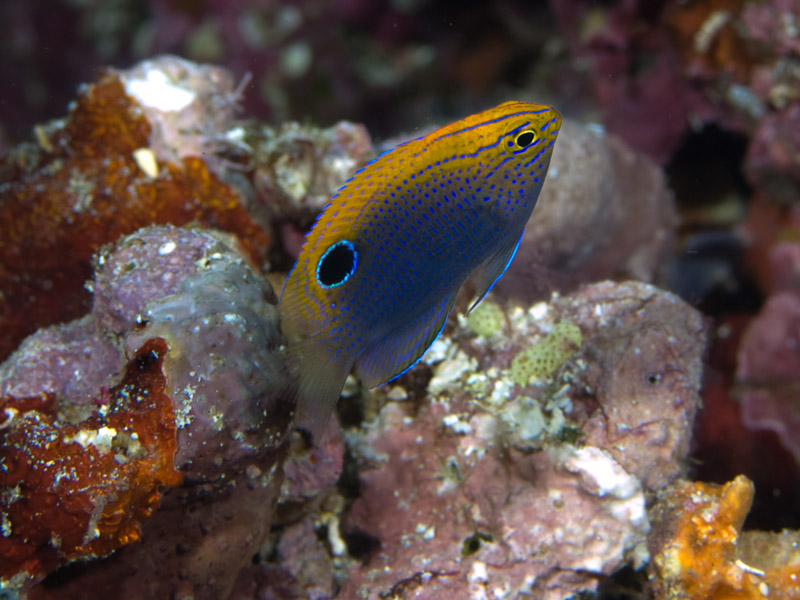 Photo at Mandolin:  Ocellate damselfish
