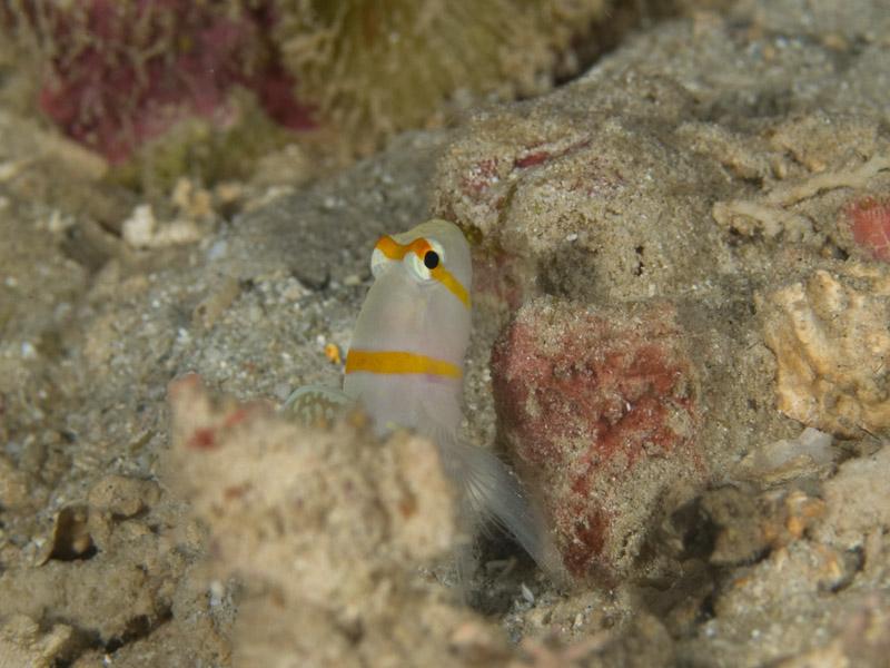 Photo at Alung Banua:  Randall's prawn-goby