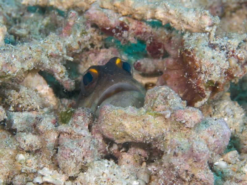 Photo at Alung Banua:  Yellowbarred jawfish