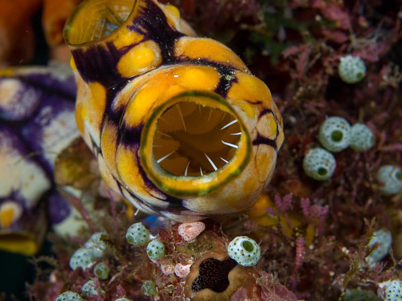 Photo at Alung Banua:  Golden Sea Squirt