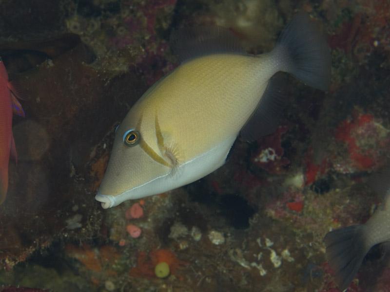 Photo at Lekuan II:  Boomerang triggerfish