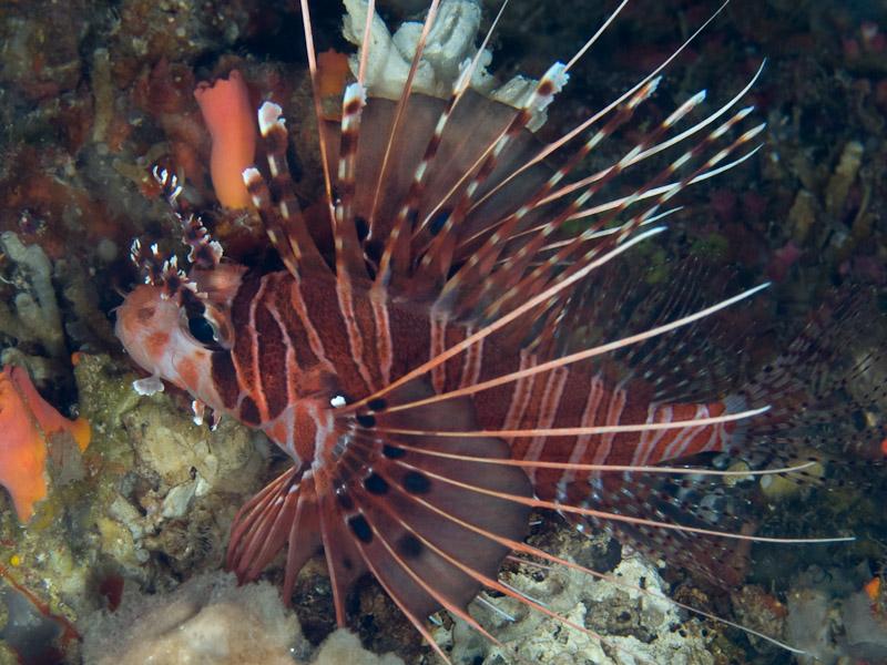 Photo at Lekuan II:  Broadbarred firefish