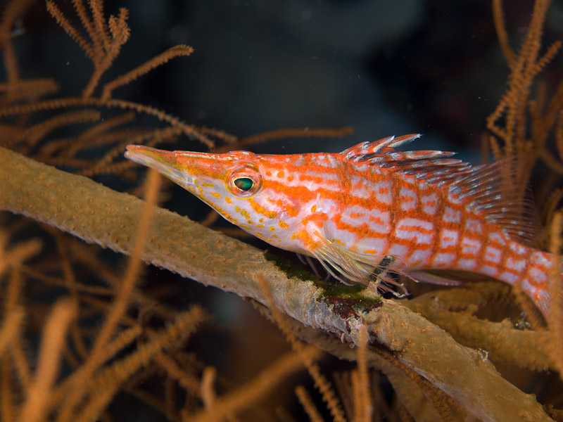 Photo at Lekuan II:  Longnose hawkfish